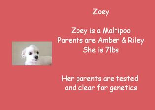 Zoey - Maltipoo (F1)