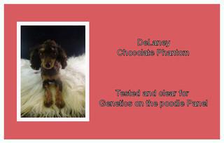DeLaney - Poodle