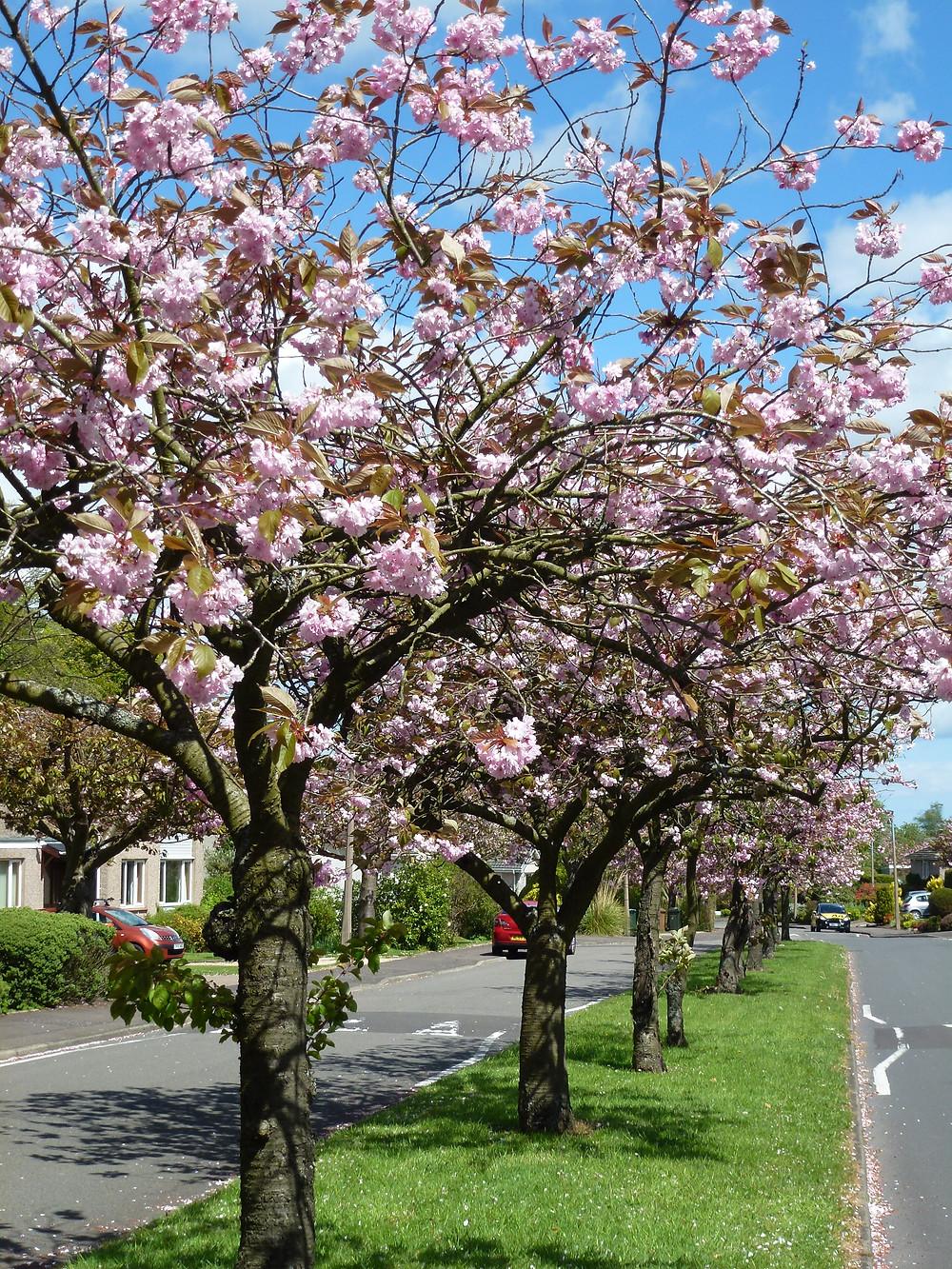 Cherry Tree area of Balerno, pesticide-free since 2018