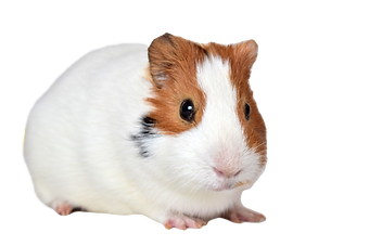 guineapig-1914069_1920_edited_edited.png