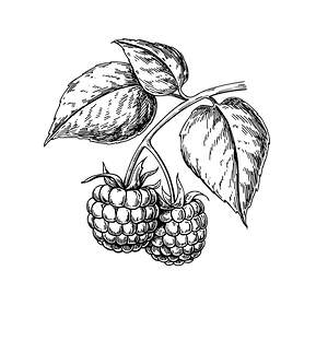 raspberry-drawing-isolated-berry-branch-