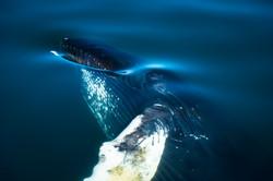 Humpback Whale, Husavík