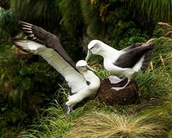 Shy Mollymawk, Auckland Islands