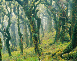 Cloud forest, Tararua Forest Park