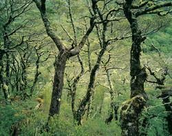Mountain beech forest, Arthur's Pass