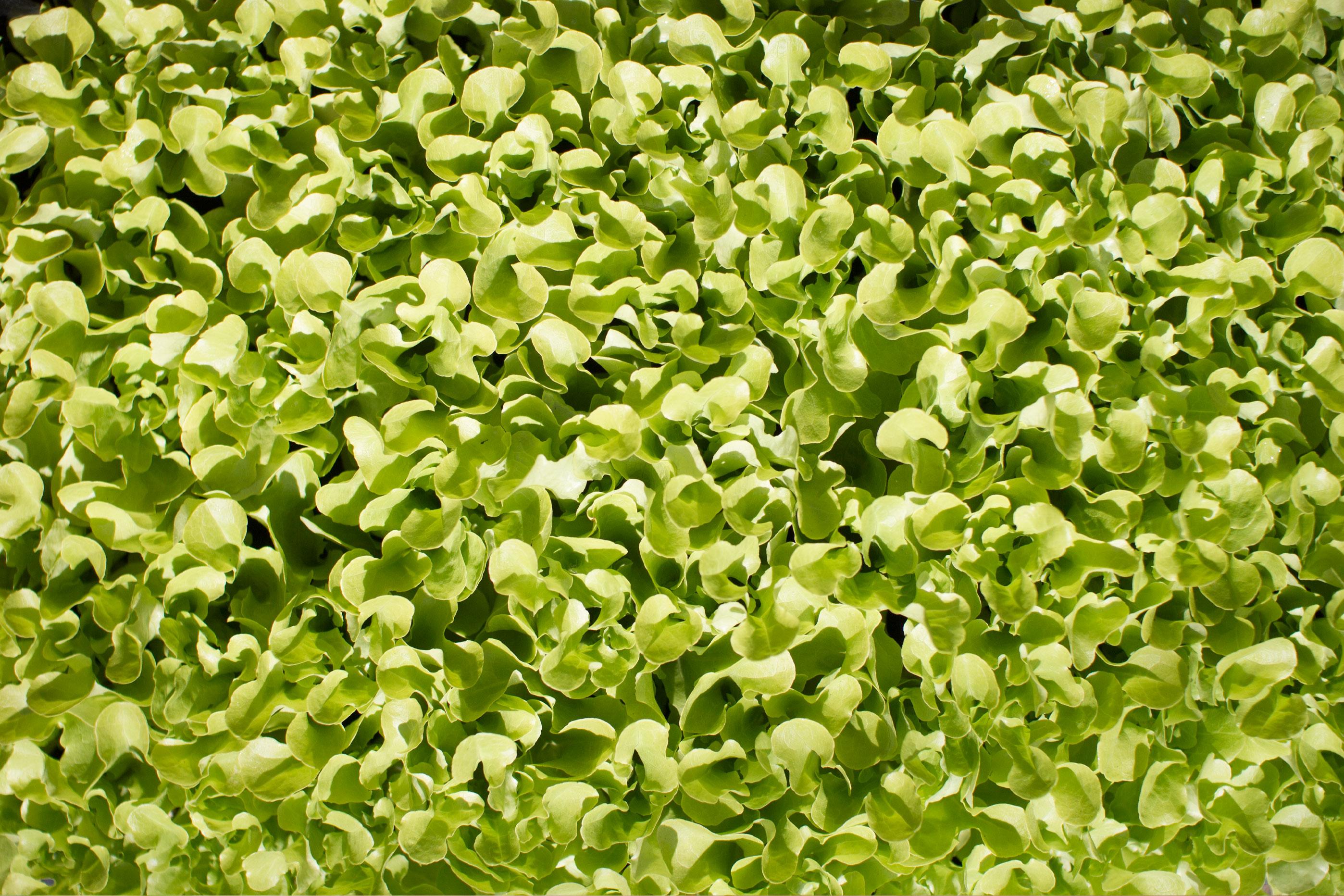 Junger Salat