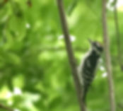 downy+woodpecker,.jpg