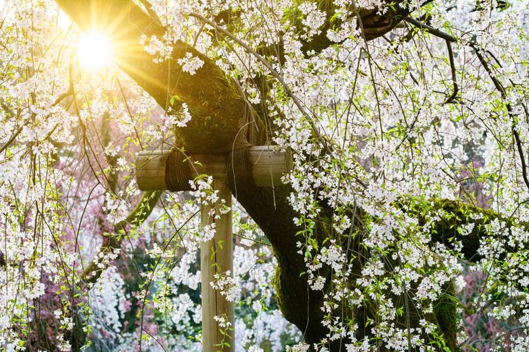 Sakura No.2