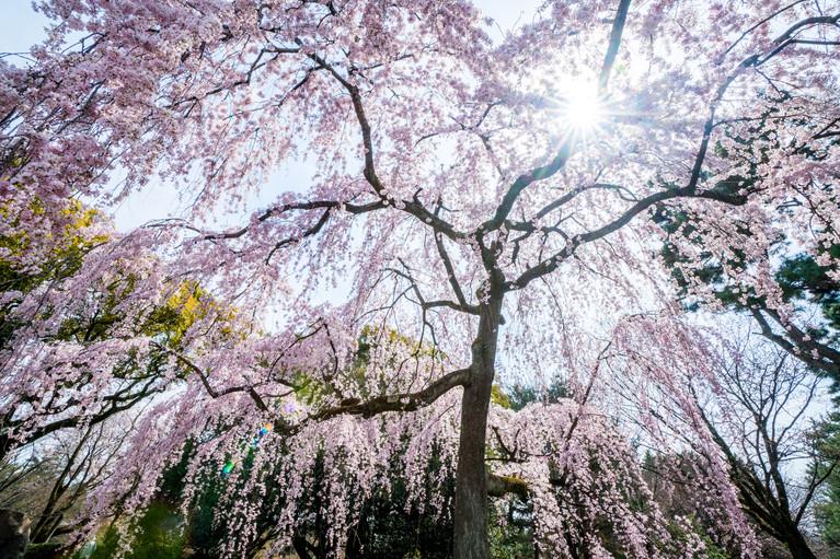 Sakura No.10
