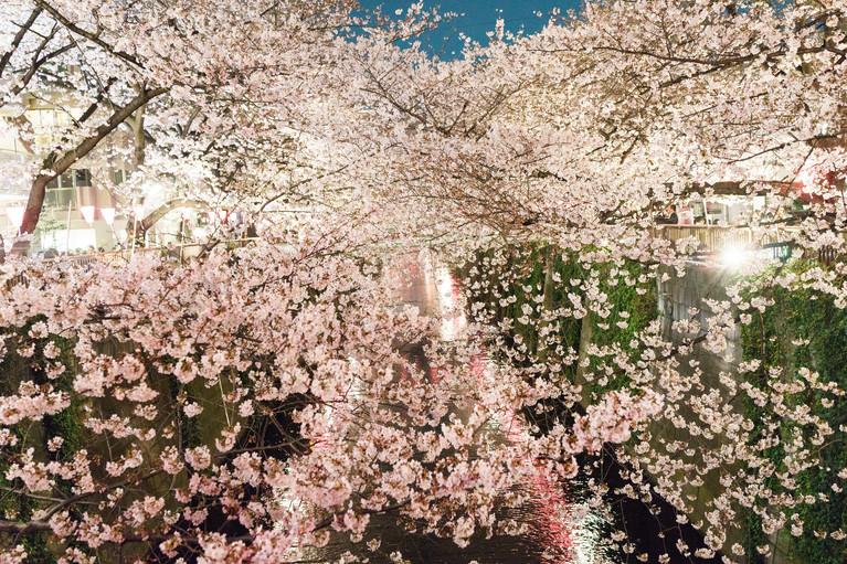 Sakura No.5