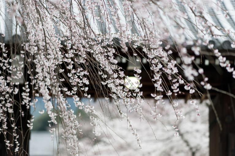Sakura No.9