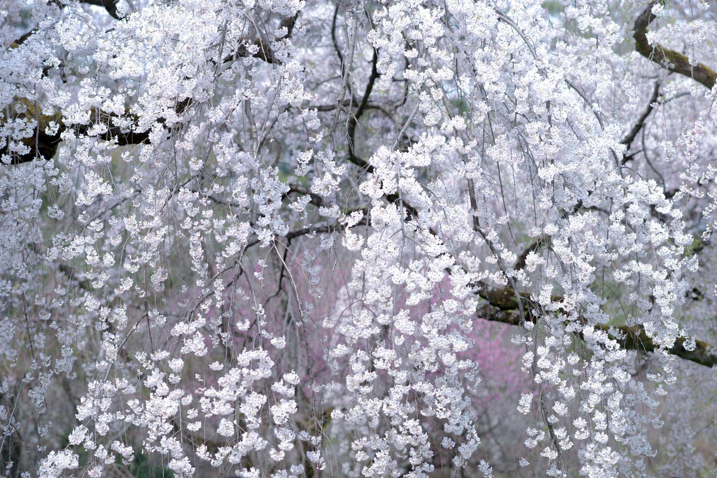 Sakura No.1