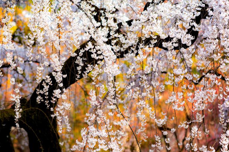 Sakura No.8