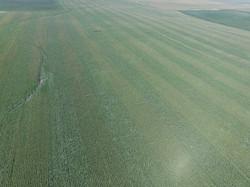Green snap in stripped field