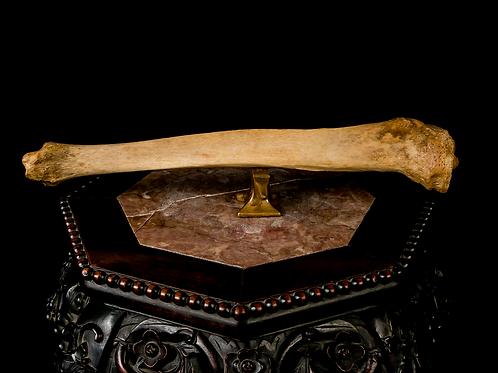 Human Tibia, 19th-Century