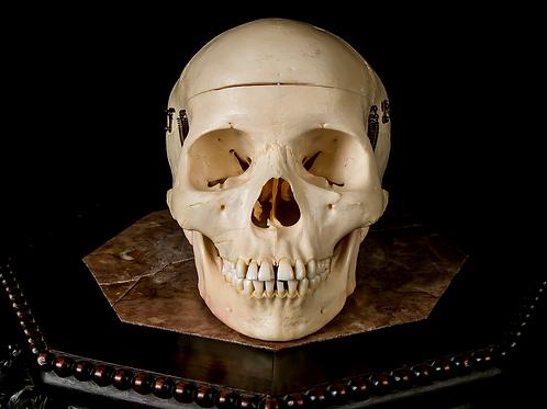 Human Skull #9474