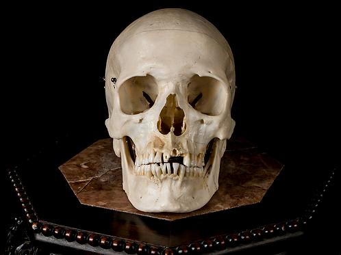 Human Skull #8475