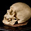 Thumbnail: Human Skull #8445