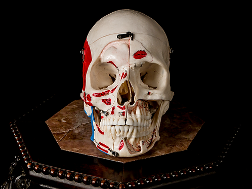 Dissected Human Skull #999, Painted Muscles & Labeled