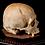 Thumbnail: Human Skull #8460
