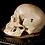 Thumbnail: Human Skull #9351