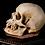 Thumbnail: Human Skull #8391