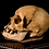 Thumbnail: Human Skull #8483