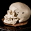 Thumbnail: Human Skull #9425