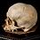 Thumbnail: Human Skull #8363