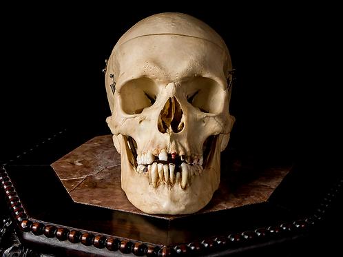 Human Skull #9316