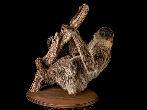 Two-Toed Sloth Taxidermy
