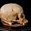 Thumbnail: Human Skull #8488