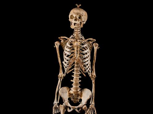 Human Skeleton #721, 19th-Century
