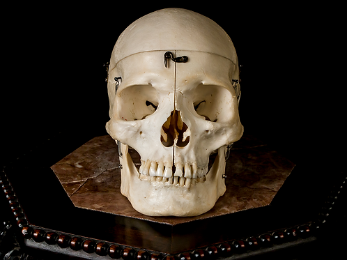 Dissected Human Skull #9442