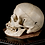 Thumbnail: Human Skull #8475