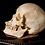 Thumbnail: Human Skull #8337