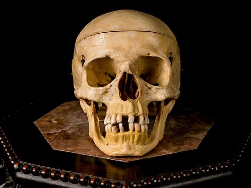 Human Skull #8502