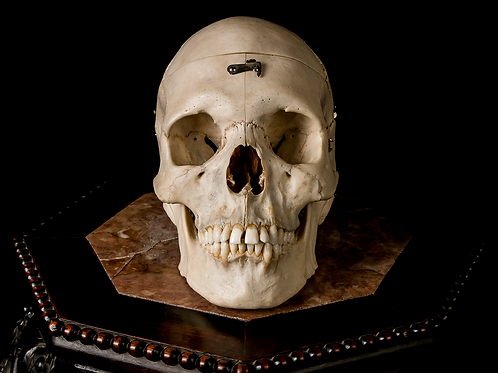 Dissected Human Skull #9415