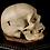 Thumbnail: Human Skull #8477