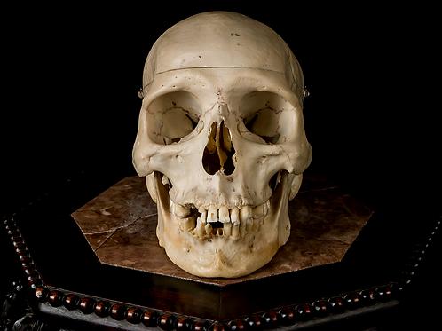 Human Skull #8477