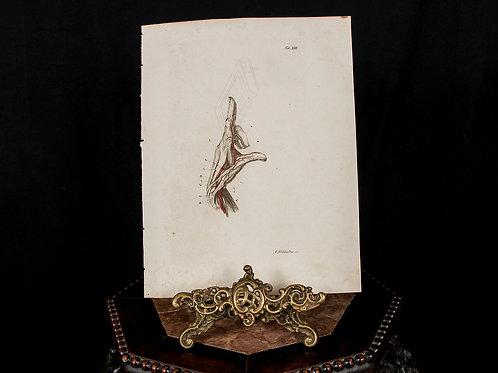 Schroeter 1834 Engraving, Human Hand