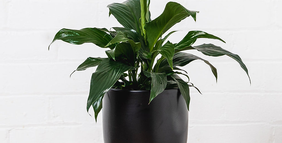 PEACE LILY IN A 17CM POT