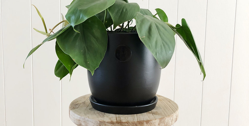 HEART LEAF PHILODENDRON IN A 17CM POT