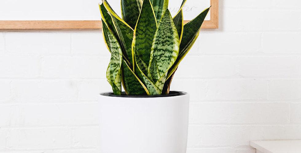 SNAKE PLANT IN A 25CM POT