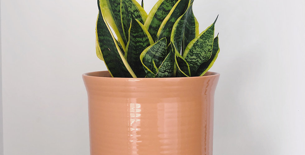 SNAKE PLANT IN THE CALI PLANTER