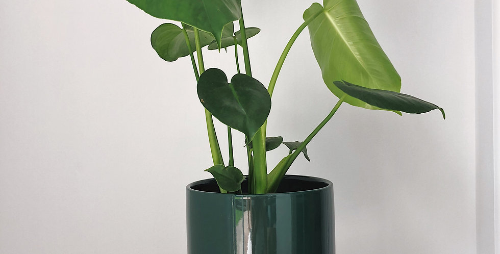 SMALL MONSTERA IN THE CHATEAU PLANTER