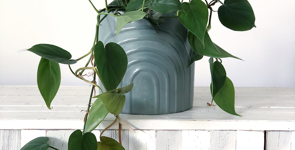 MEDIUM SAGE RAINBOW POT + HEART SHAPED PHILODENDRON