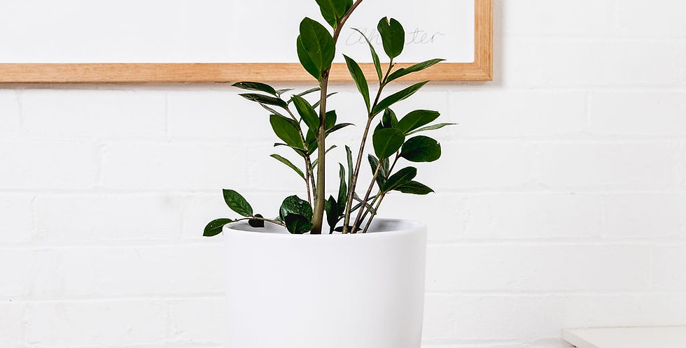 ZZ PLANT IN A 25CM POT