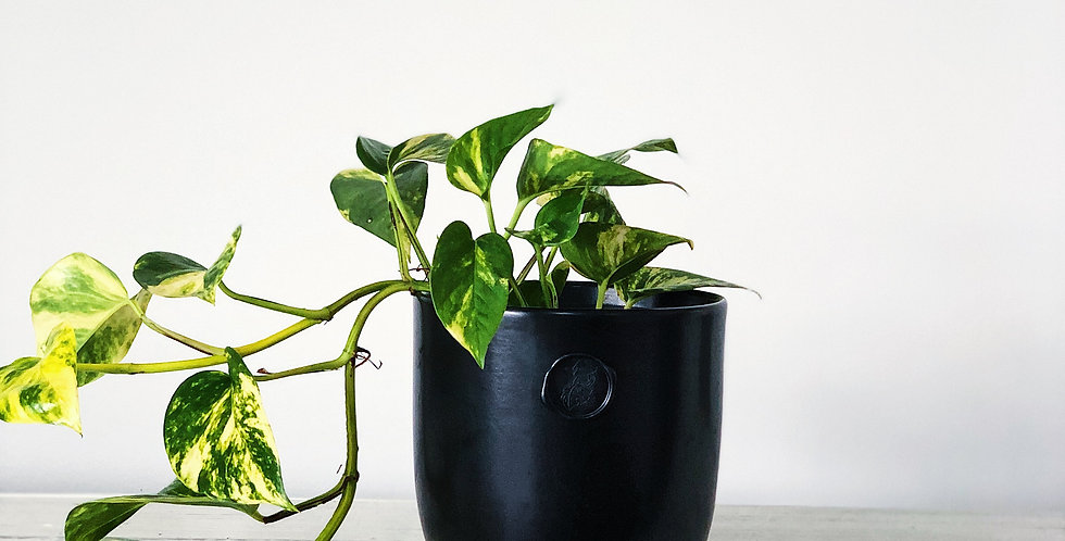 SMALL DEVILS IVY WITH A 17CM POT
