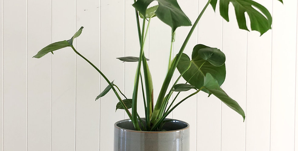 MONSTERA IN THE MINERAL PLANTER